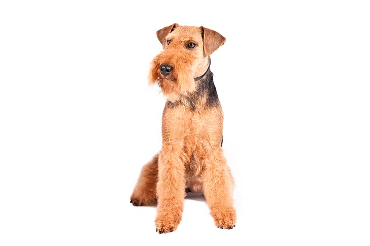 Welsh Terrier sitting facing forward, head turned slightly left