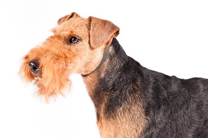 Welsh Terrier head and shoulders facing left