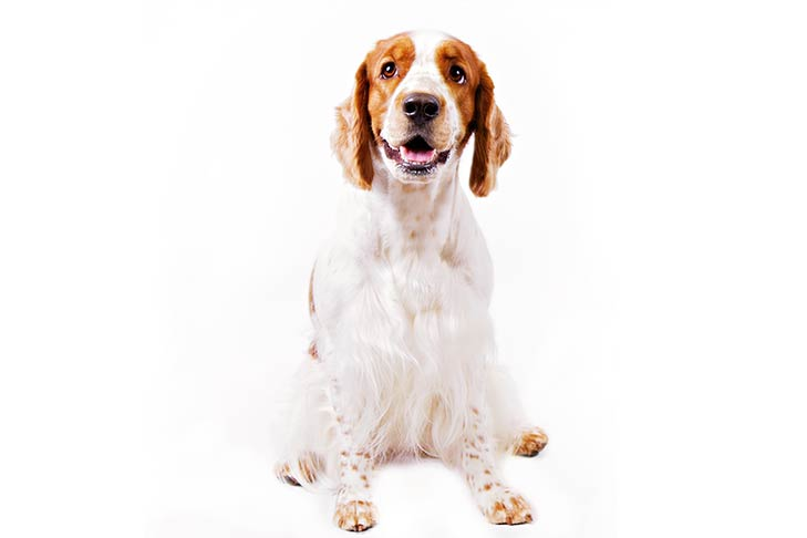 Welsh Springer Spaniel sitting facing forward