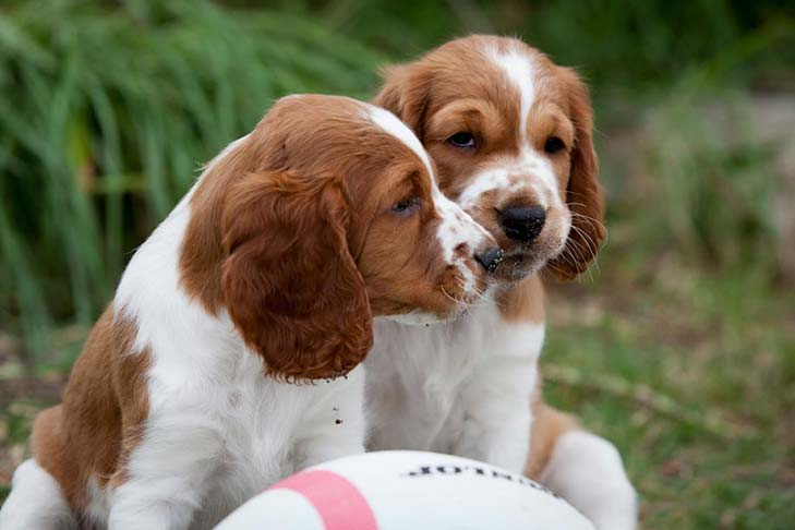 List Of Welsh Dog Breeds