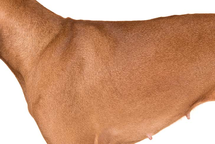 Vizsla coat detail
