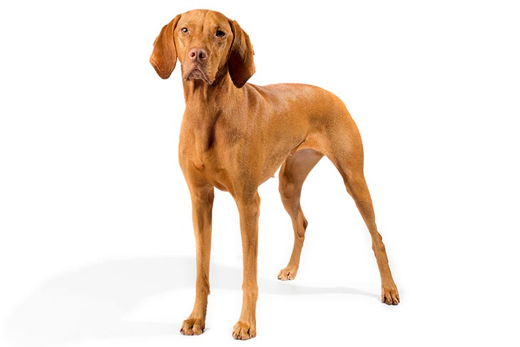 Vizsla standing in three-quarter view