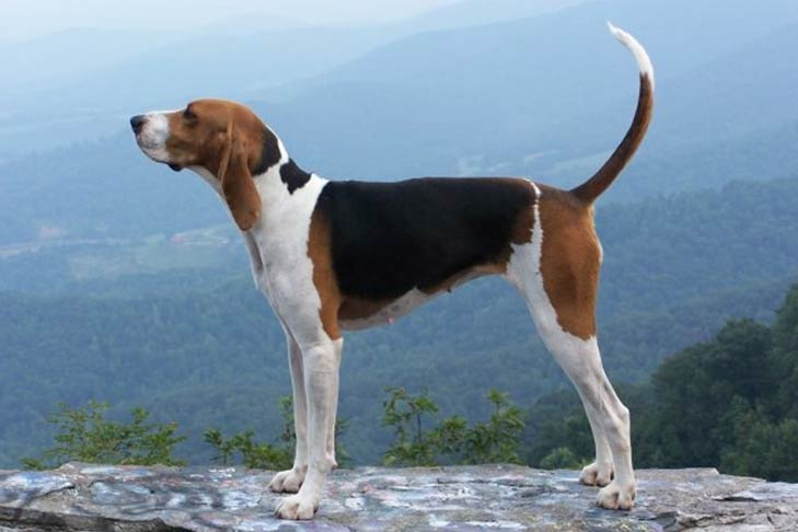 Treeing Walker Coonhound standing sideways facing left with hazy blue mountains in the background
