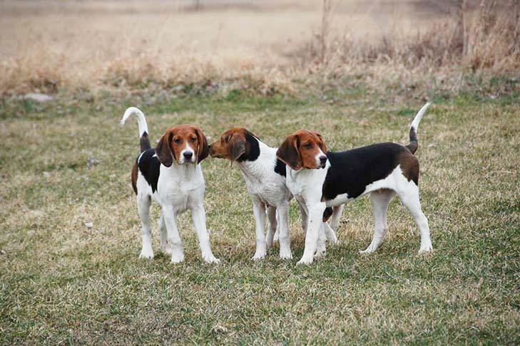 Treeing Walker Coonhound Puppies For Sale - AKC PuppyFinder