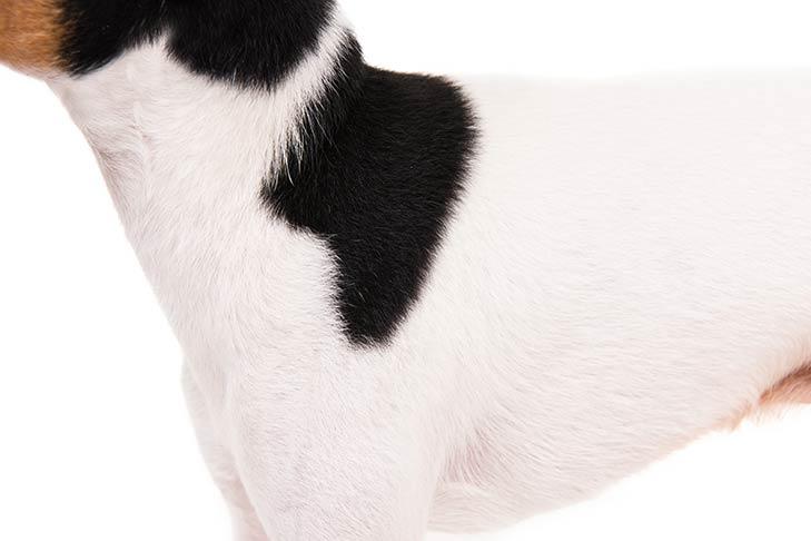Toy Fox Terrier coat detail