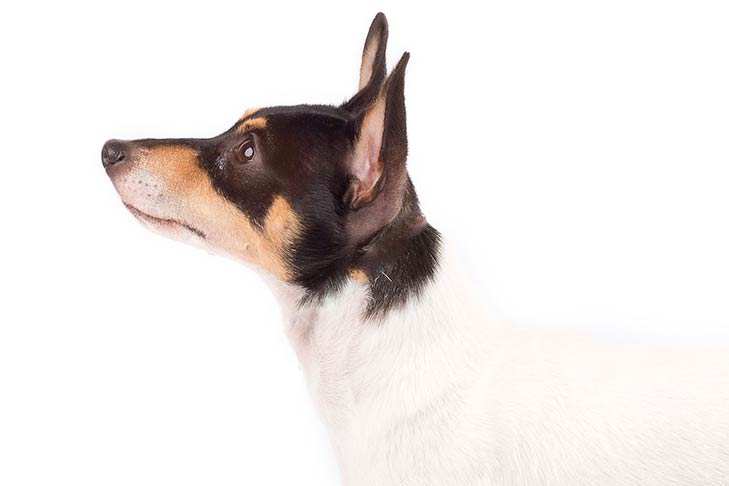 Toy Fox Terrier head and shoulders facing left