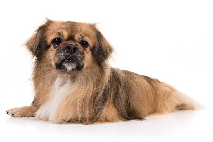 Tibetan Spaniel lying in three-quarter view facing forward