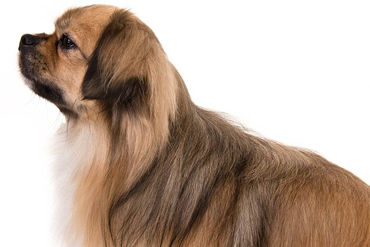 Tibetan Spaniel head and shoulders facing left