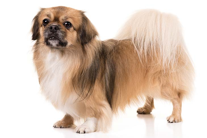 Tibetan Spaniel standing in three-quarter view