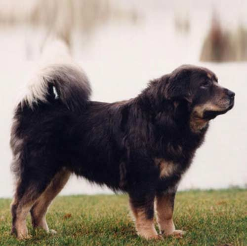 tibetan mastiff dog breed information
