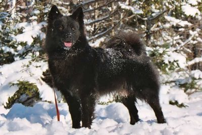 Norwegian Buhund Dog Breed Information