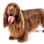 Sussex Spaniel standing in three-quarter view