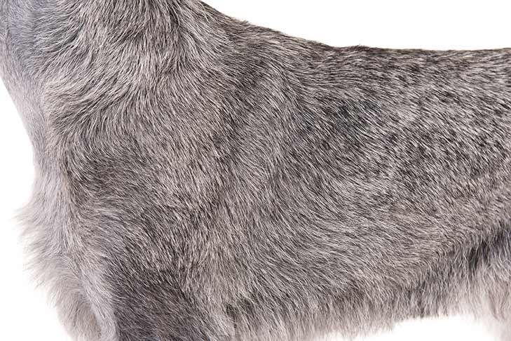 Standard Schnauzer coat detail