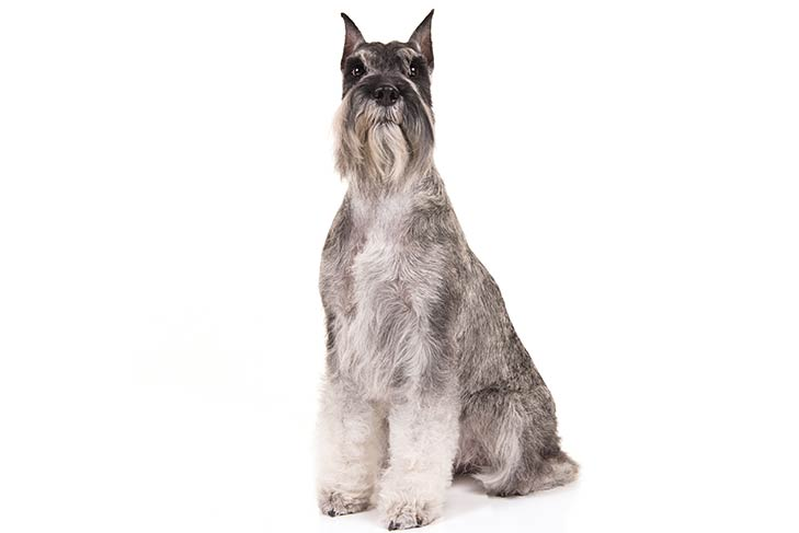 Standard Schnauzer sitting in three-quarter view facing forward