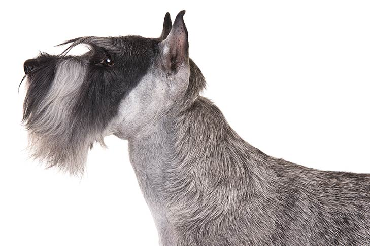 Standard Schnauzer head and neck facing left