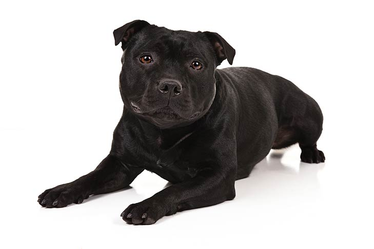 Staffordshire Bull Terrier lying in three-quarter view facing forward