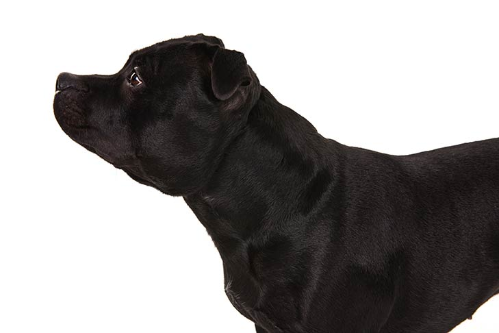 Staffordshire Bull Terrier head and shoulders facing left