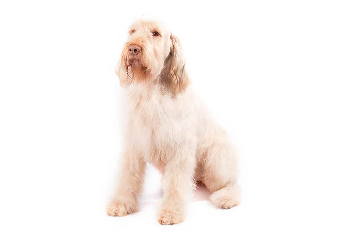 Spinone Italiano sitting in three-quarter view