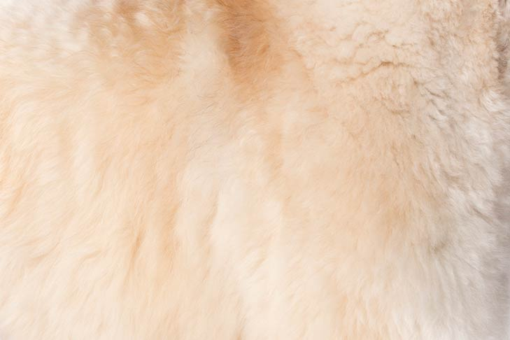 Soft Coated Wheaten Terrier coat detail