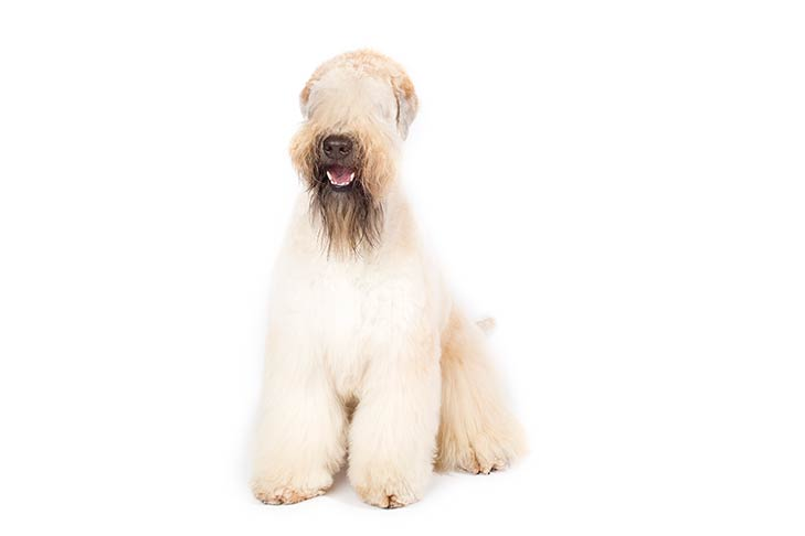 Soft Coated Wheaten Terrier sitting in three-quarter view