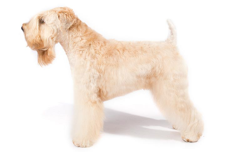 Soft Coated Wheaten Terrier standing facing left