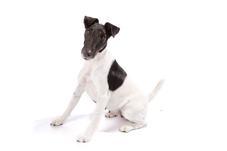 Smooth Fox Terrier sitting in three-quarter view facing forward