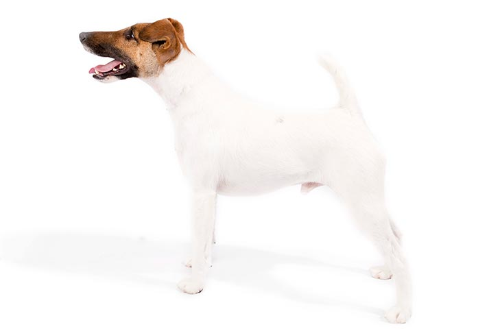 Smooth Fox Terrier standing facing left