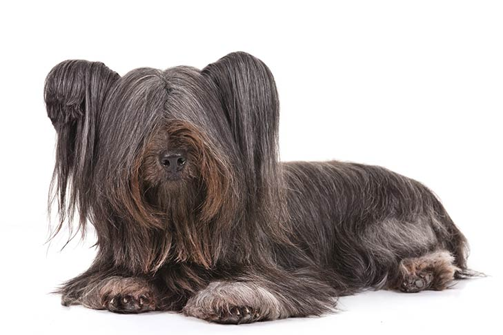 Skye Terrier lying in three-quarter view facing forward