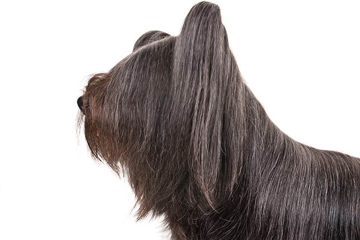 Skye Terrier head facing left