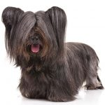 Skye Terrier standing in three-quarter view facing forward