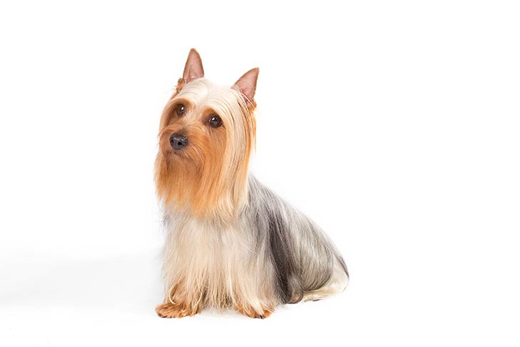 Silky Terrier sitting in three-quarter view