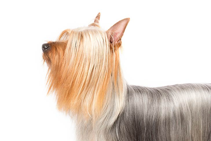 Silky Terrier head facing left