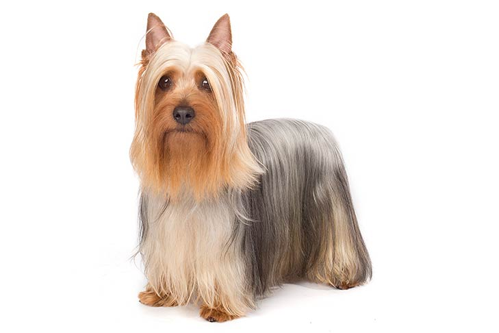 Silky Terrier standing in three-quarter view facing forward