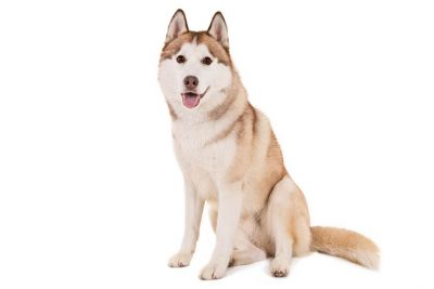Siberian Husky Pictures - American Kennel Club