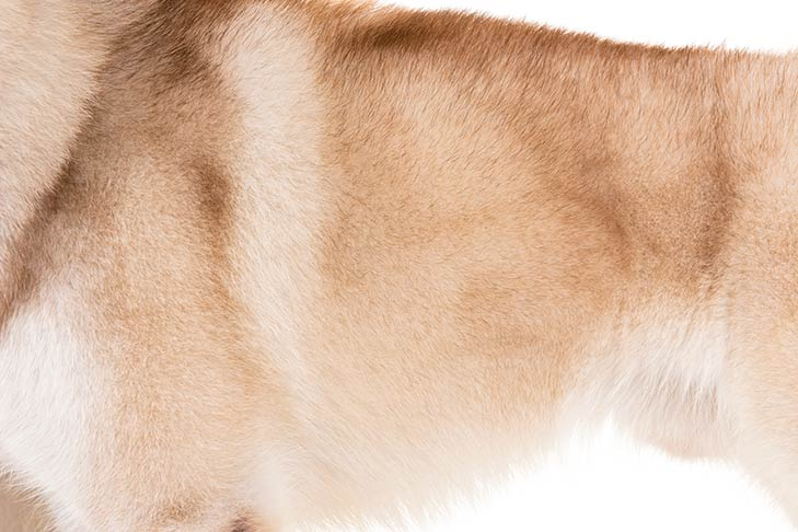 Siberian Husky red and white coat detail