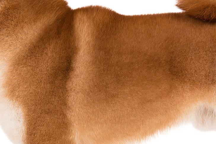 Shiba Inu coat detail