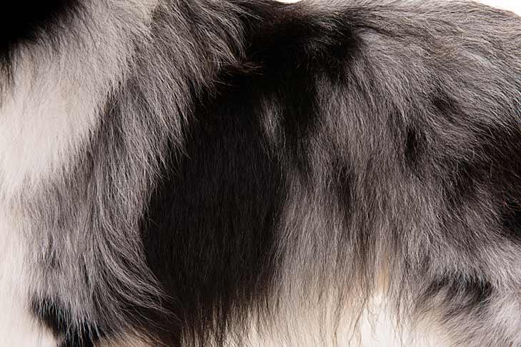 Shetland Sheepdog coat detail
