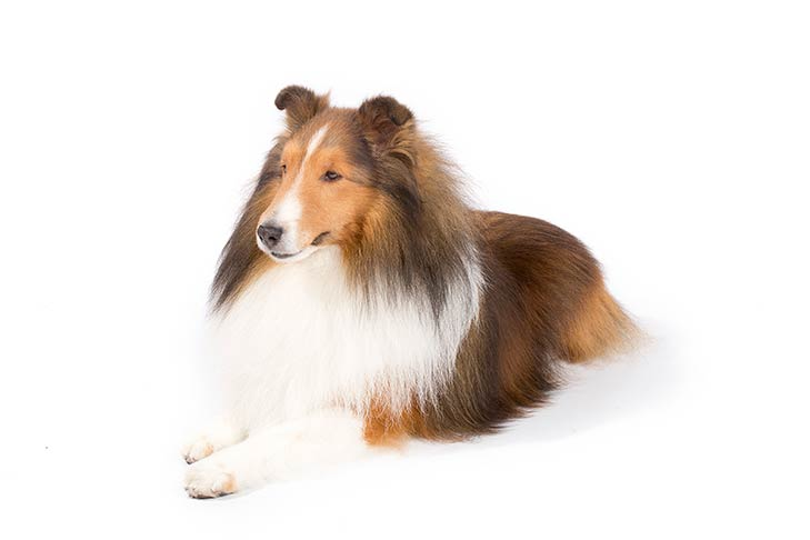 Shetland Sheepdog lying in three-quarter view