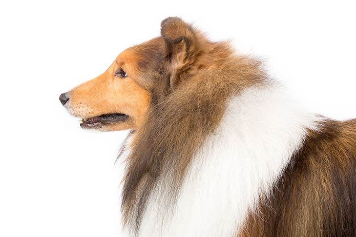 Shetland Sheepdog head and shoulders facing left