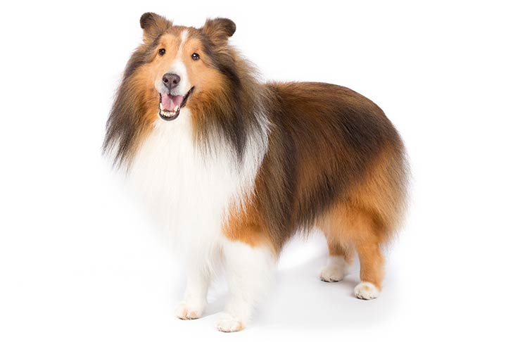 Shetland Sheepdog standing in three-quarter view facing forward
