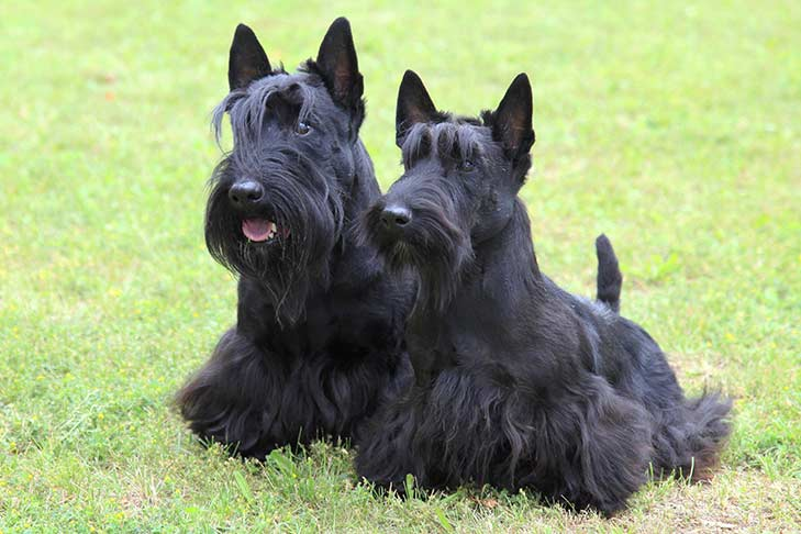 Two Scottish Terriers sitting on grass side by side facing forward