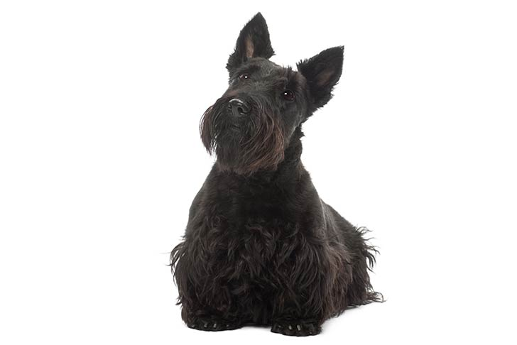 Scottish Terrier sitting facing forward