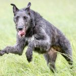 Scottish Deerhound leaping through tall green grasses
