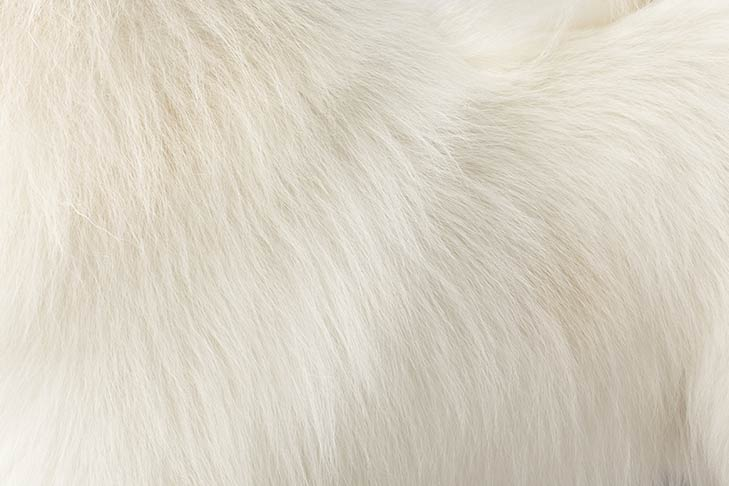 Samoyed coat detail