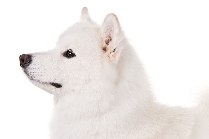 Samoyed head facing left