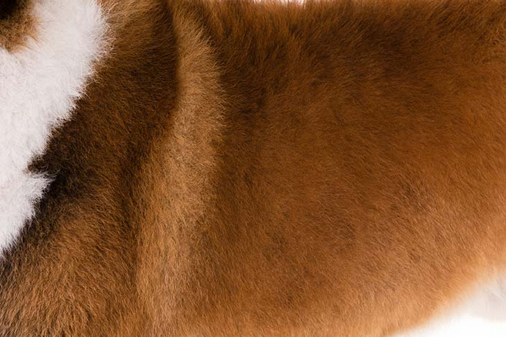 Saint Bernard coat detail