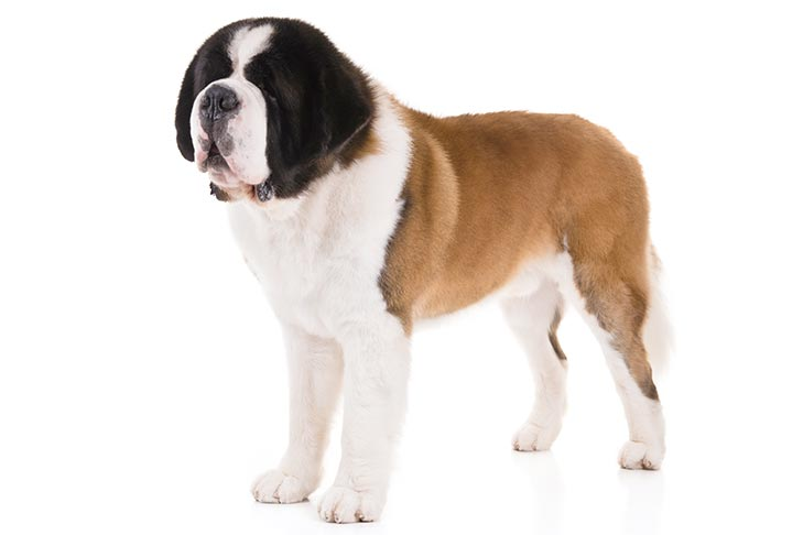 Saint Bernard Dog Breed Information