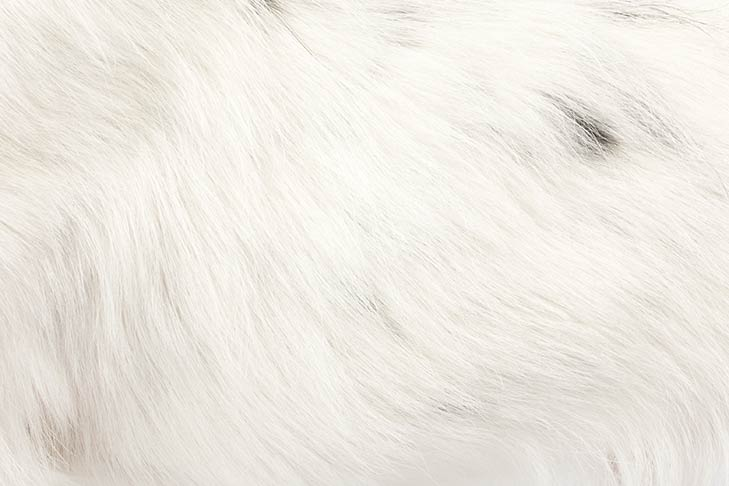 Russell Terrier coat detail