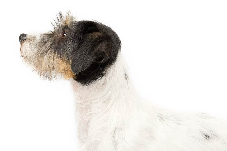 Russell Terrier head and shoulders facing left