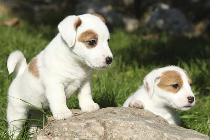Russell Terrier Puppies For Sale - AKC PuppyFinder